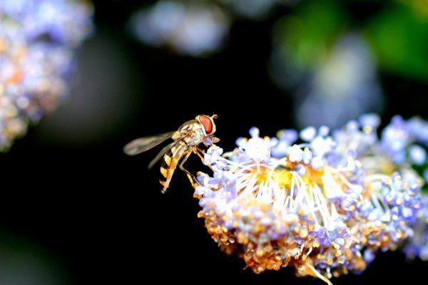 Schwebfliege auf der Säckelblume